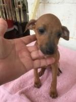Manchester Terrier Puppies for sale in Phoenix, AZ, USA. price: NA