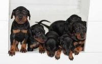 Manchester Terrier Puppies for sale in Atlanta, GA, USA. price: NA