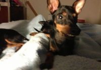 Manchester Terrier Puppies for sale in New York, NY, USA. price: NA