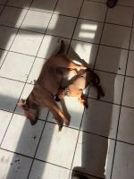Manchester Terrier Puppies for sale in Kenosha, WI, USA. price: NA
