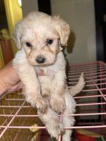 Manchester Terrier Puppies Photos