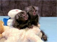 Mangabey Monkey Animals for sale in Tampa, FL, USA. price: NA