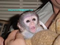 Mangabey Monkey Animals for sale in Indianapolis, IN, USA. price: NA