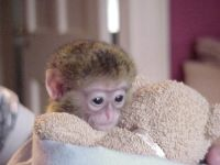 Mangabey Monkey Animals for sale in Salem, OR, USA. price: NA