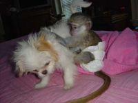 Mangabey Monkey Animals for sale in Houston, TX, USA. price: NA