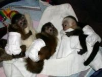 Mangabey Monkey Animals for sale in Louisville, KY, USA. price: NA