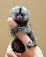 Mangabey Monkey Animals for sale in El Paso, TX, USA. price: NA