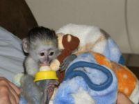Mangabey Monkey Animals for sale in Miami, FL, USA. price: NA