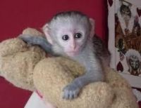 Mangabey Monkey Animals for sale in Ackerly, TX 79713, USA. price: NA