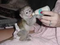 Mangabey Monkey Animals Photos