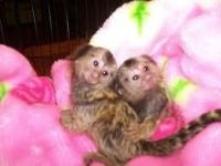 Mangabey Monkey Animals for sale in Chicago, IL, USA. price: NA