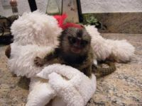 Mangabey Monkey Animals for sale in Fort Wayne, IN, USA. price: NA