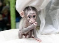 Mangabey Monkey Animals for sale in Long Beach, CA, USA. price: NA