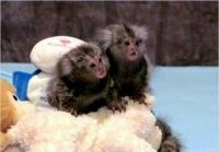 Mangabey Monkey Animals for sale in Asheville, NC, USA. price: NA