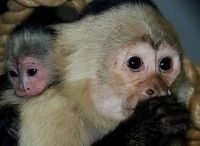 Mangabey Monkey Animals for sale in Crum, WV 25669, USA. price: NA