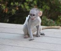 Mangabey Monkey Animals for sale in New Castle, DE 19720, USA. price: NA