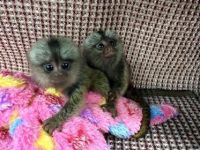 Mangabey Monkey Animals for sale in Fort Worth, TX, USA. price: NA