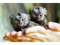 Mangabey Monkey Animals for sale in Westerville Woods Dr, Columbus, OH 43231, USA. price: NA