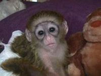Mangabey Monkey Animals for sale in Flushing, Queens, NY, USA. price: NA