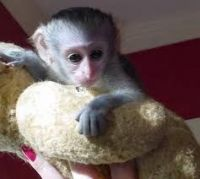 Mangabey Monkey Animals for sale in Texas City, TX, USA. price: NA