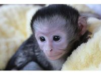 Mangabey Monkey Animals for sale in California City, CA, USA. price: NA