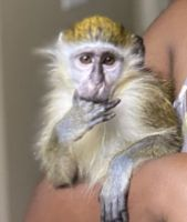Mangabey Monkey Animals for sale in Dallas, TX, USA. price: NA