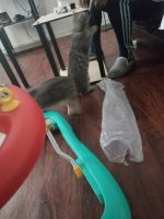 Manx Cats for sale in Brooklyn, NY, USA. price: NA