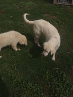 Maremma Sheepdog Puppies for sale in Hotchkiss, CO, USA. price: NA