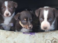 McNab Puppies for sale in Pierre, SD 57501, USA. price: NA