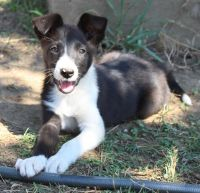 McNab Puppies for sale in Corning, CA 96021, USA. price: NA