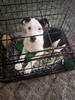 McNab Puppies for sale in Blue Ridge, GA 30513, USA. price: NA