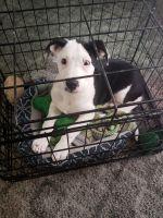 McNab Puppies Photos