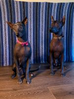 Mexican Hairless Puppies Photos