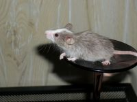 Mice Rodents for sale in Currituck, NC, USA. price: NA