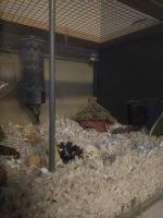 Mice Rodents for sale in Naperville, IL, USA. price: NA