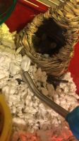 Mice Rodents for sale in Phoenix, AZ, USA. price: NA
