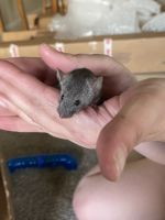 Mice Rodents for sale in Grand Junction, CO, USA. price: NA