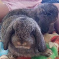 Mini Lop Rabbits Photos