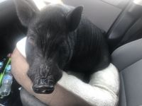 Mini/Micro Pig Animals for sale in Highlands Ranch, CO, USA. price: NA