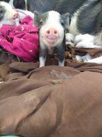 Mini/Micro Pig Animals for sale in Sanctuary, TX 76020, USA. price: NA
