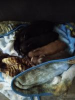 Mini/Micro Pig Animals for sale in Holden Beach, NC 28462, USA. price: NA