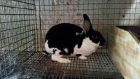 Mini Rex Rabbits for sale in Bellefontaine, OH 43311, USA. price: NA