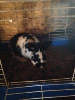 Mini Rex Rabbits for sale in Ithaca, MI 48847, USA. price: NA