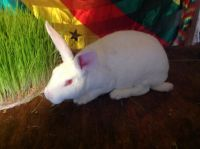 Mini Rex Rabbits for sale in Bridgeport, CT, USA. price: NA