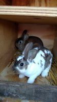 Mini Rex Rabbits for sale in Cassopolis, MI 49031, USA. price: NA