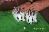 Mini Rex Rabbits for sale in Stone Mountain, GA, USA. price: NA