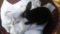 Mini Rex Rabbits for sale in Austin, TX, USA. price: NA