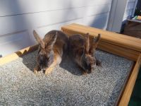 Mini Rex Rabbits for sale in Lincoln, NE, USA. price: NA