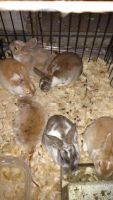 Mini Rex Rabbits for sale in East Canton, OH 44730, USA. price: NA
