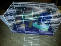 Mini Rex Rabbits for sale in Roseville, OH 43777, USA. price: NA